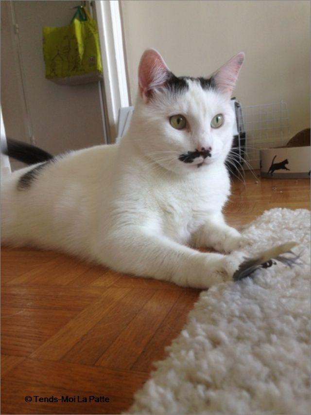 CHAT A ADOPTER : HALLY - chat mâle de 5 ans Hally310