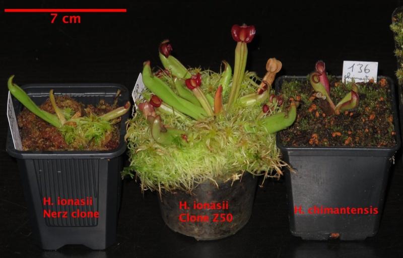 Vente Heliamphora + Nepenthes + Sarracenia - VENDUES - Helis_10