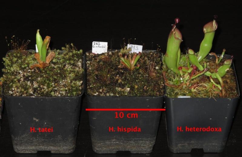 Vente Heliamphora + Nepenthes + Sarracenia - VENDUES - Helis_11