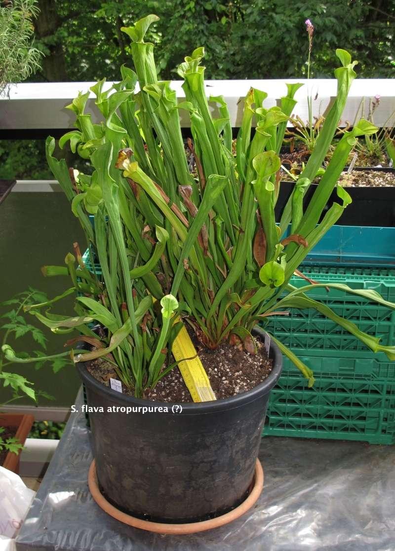 Vente Heliamphora + Nepenthes + Sarracenia - VENDUES - Img_5710