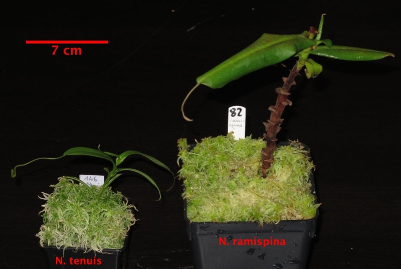Vente Heliamphora + Nepenthes + Sarracenia - VENDUES - Tenuis10