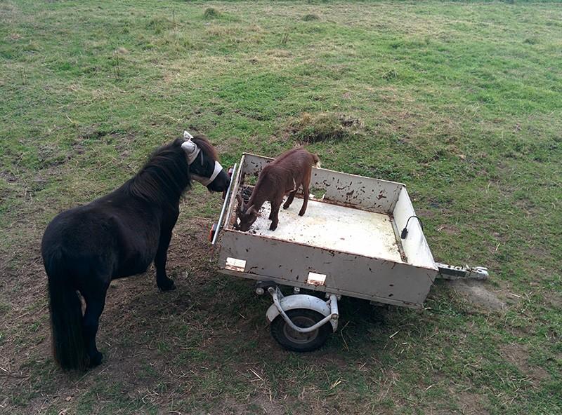 CHINOOK - poney Shetland née en 2012 - gardée par sa propriétaire Img_2010