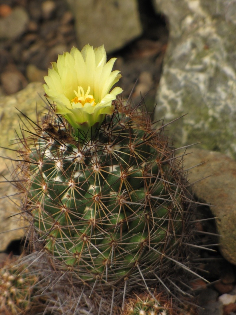 Coryphantha pseudoechinus ssp. lauii Coryph12