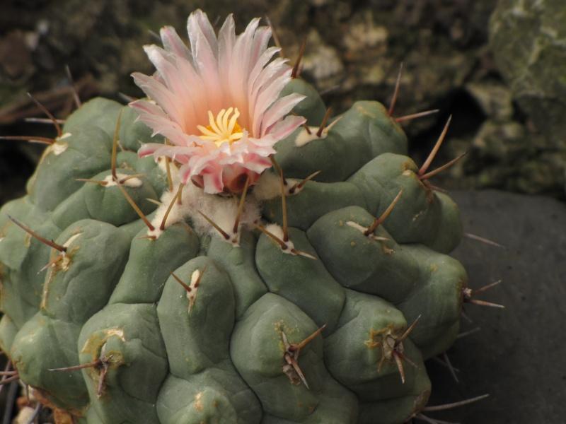 Thelocactus rinconensis var. rinconensis Theloc10