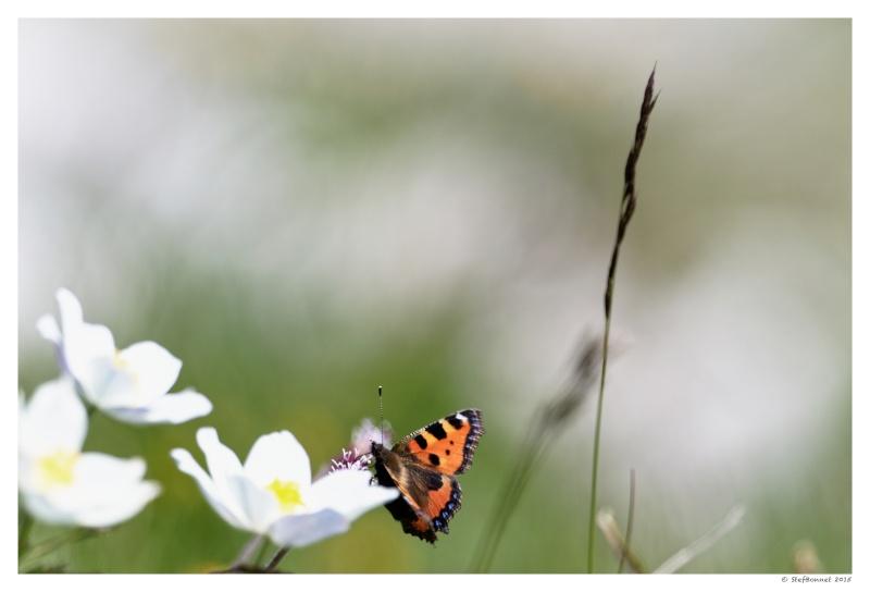 Vercors' Safari : fleurs et papillon 1e2a8514
