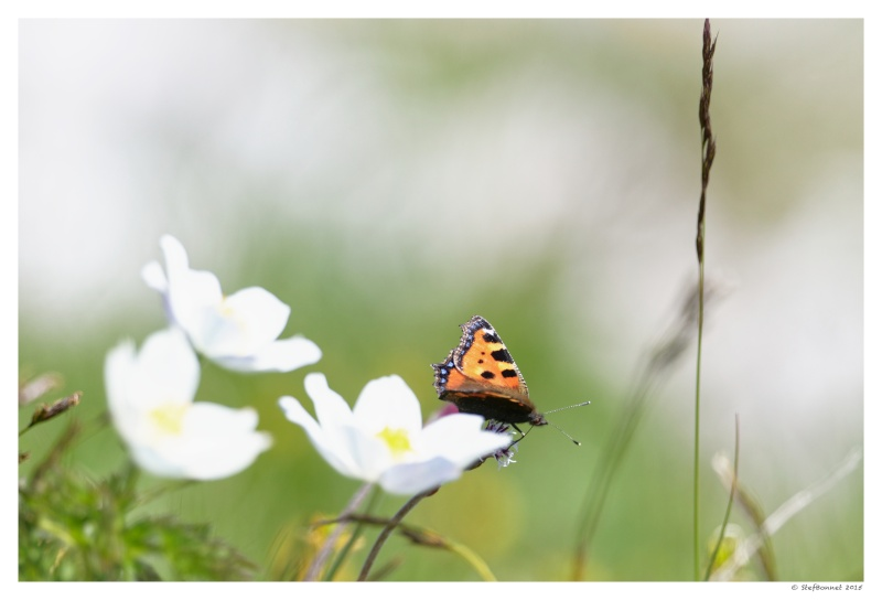 Vercors' Safari : fleurs et papillon 1e2a8515