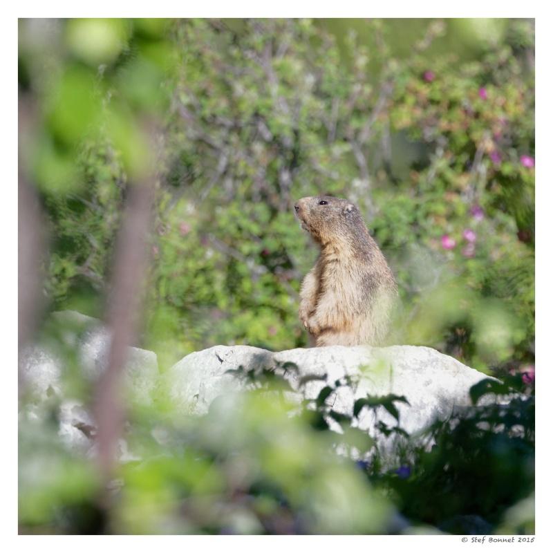 Vercors' Safari : chocards et marmotte 1e2a8613
