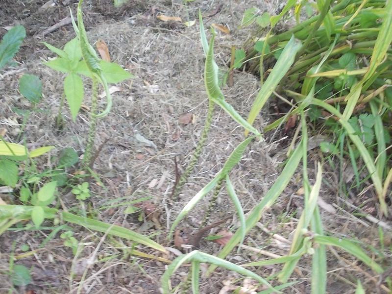 Son nom SVP : arisaema speciosum Dscn5521