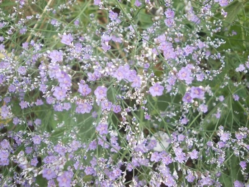 Limonium latifolium statice  Dscn5845