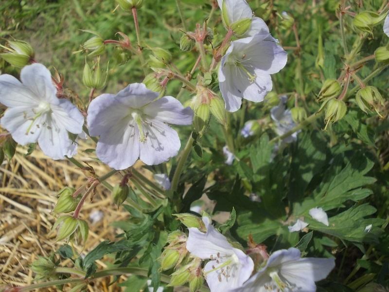 identification geranium : pratense picotee Dscn5911