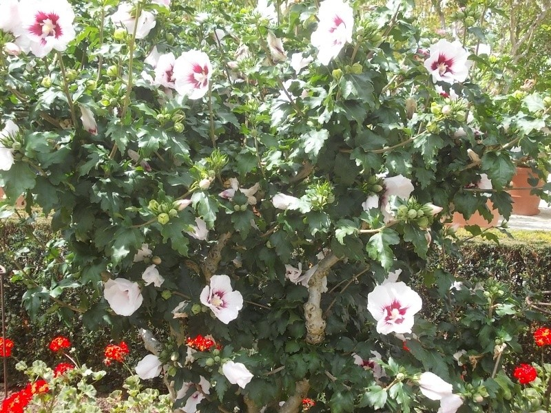 Hibiscus syriacus ou althéa  Dscn6011
