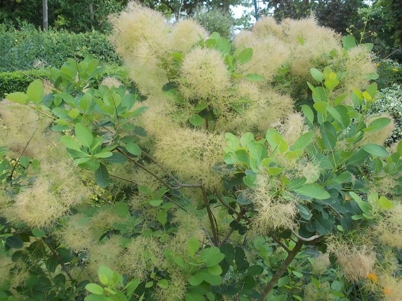 les cotinus (arbre à perruque) Dscn6132
