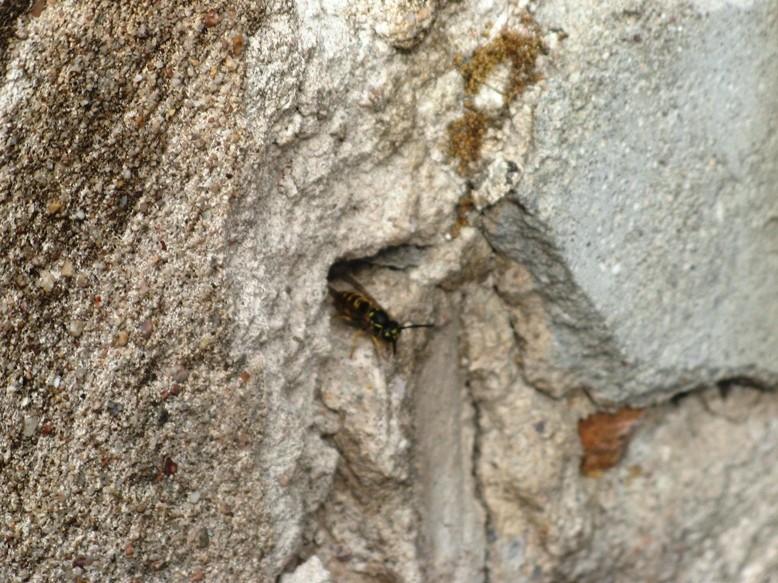 Nid de guêpes dans mur en pierres 14342918