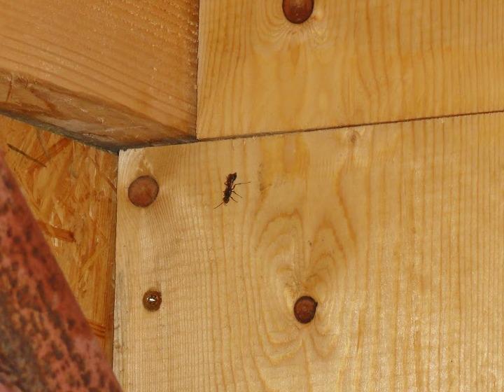 Insectes dans cloison - identification - dangereux? Dsc00810