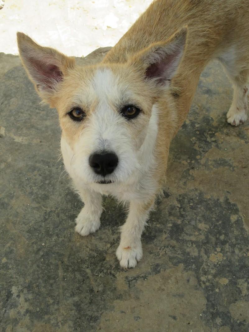 TROIS jeunes chiennes de Tunisie Pixie10