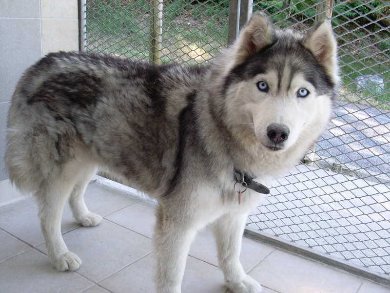 Born to be free, Husky REFU81 Sl371513