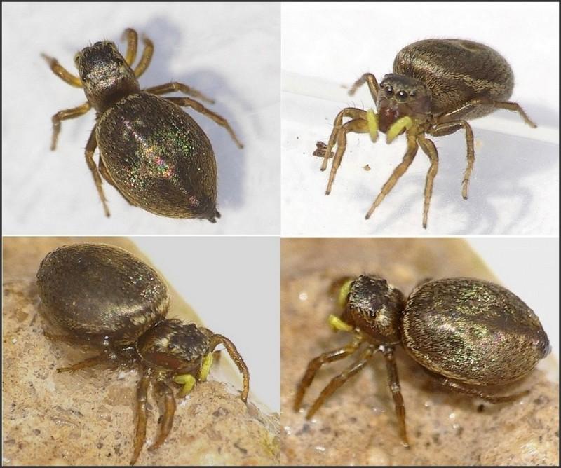 Heliophanus tribulosus Heliop10