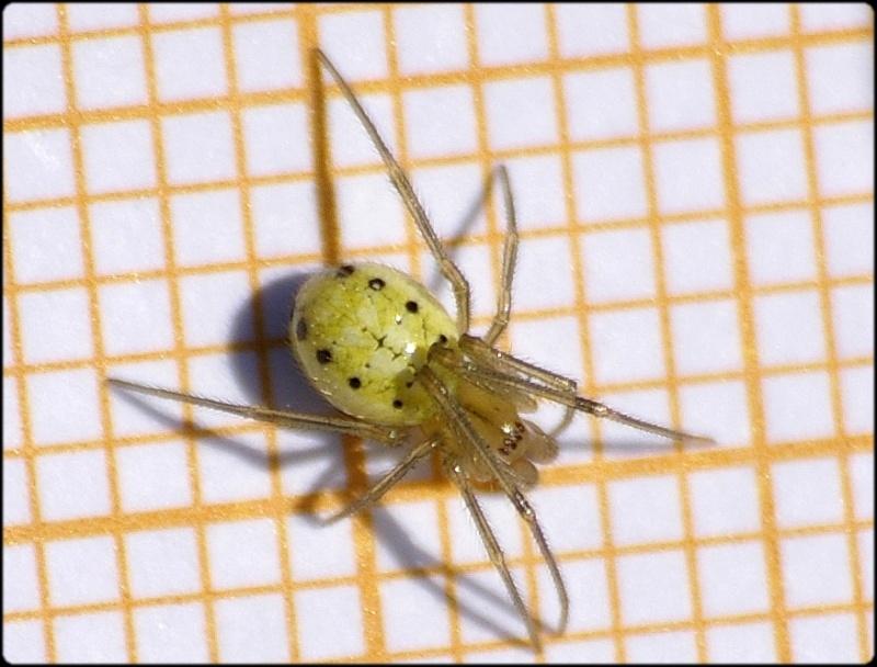 Araneidae : Araniella non [Theridiidae : Enoplognatha sp.] Imgp6214