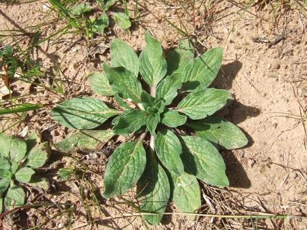 Echium plantagineum - vipérine pourpre Dscf0010