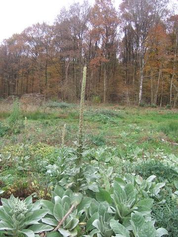 Verbascum thapsus - bouillon blanc Dscf4410