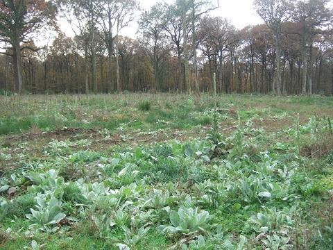Verbascum thapsus - bouillon blanc Dscf4411