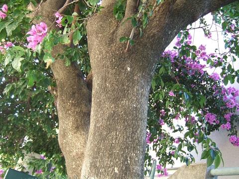 Bougainvillea x specto-glabra Dscf5117
