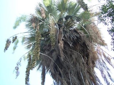 Brahea armata - palmier bleu du Mexique Dscf5311