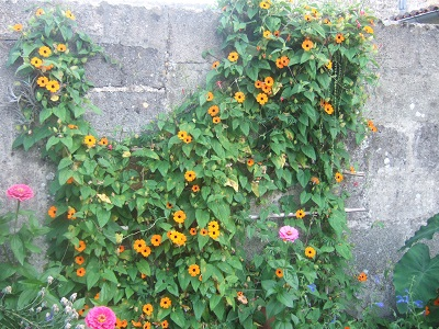 Thunbergia alata - Suzanne aux yeux noirs Dscf5810