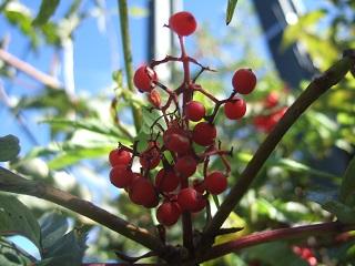 Sambucus racemosa - sureau rouge Dscf5911