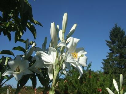 Lilium candidum - lis de la Madonne  Dscf6615