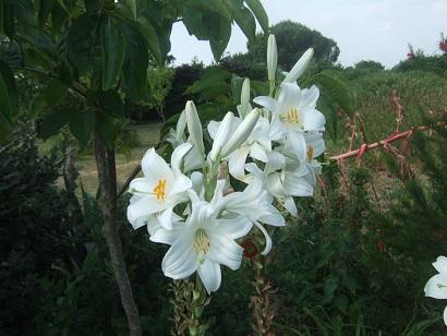 Lilium candidum - lis de la Madonne  Dscf6616