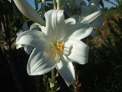 Lilium candidum - lis de la Madonne  Dscf6618