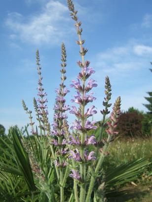Salvia kopetdaghensis Dscf6629
