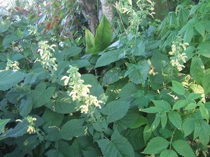 glutinosa - Salvia glutinosa - sauge glutineuse Dscf6727