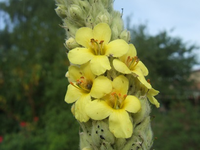 Verbascum thapsus - bouillon blanc Dscf6827