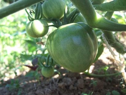 Solanum lycopersicum - les tomates - Page 5 Dscf6836