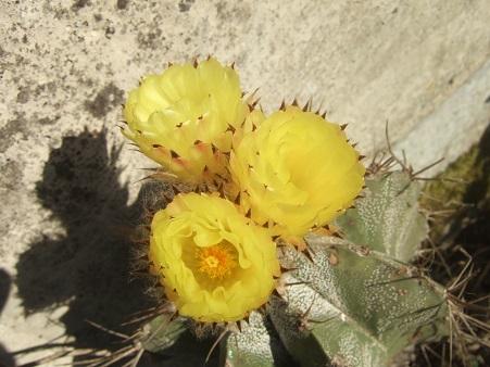 Astrophytum ornatum Dscf6842
