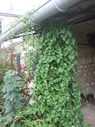 Anredera cordifolia (= Boussingaultia baselloides) - boussingaultie - Page 2 Dscf7019
