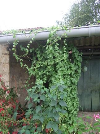 Anredera cordifolia (= Boussingaultia baselloides) - boussingaultie - Page 2 Dscf7020