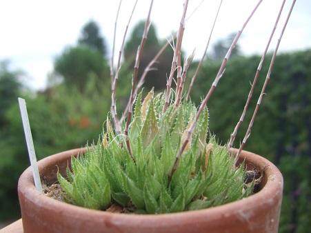 Haworthia marumiana Dscf7119