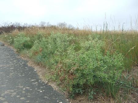 Eryngium campestre - panicaut champêtre Dscf7128