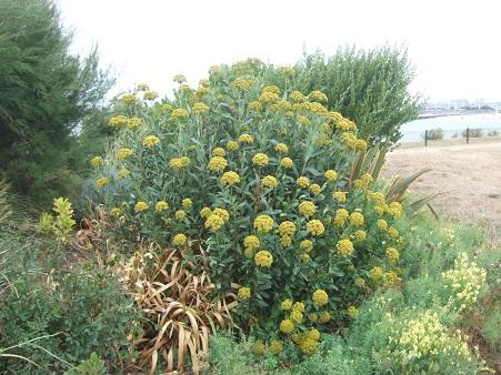 Bupleurum fruticosum - buplèvre arbustif Dscf7130
