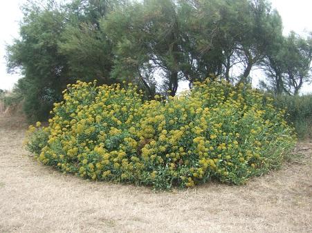 Bupleurum fruticosum - buplèvre arbustif Dscf7131