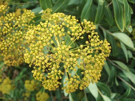 Bupleurum fruticosum - buplèvre arbustif Dscf7132