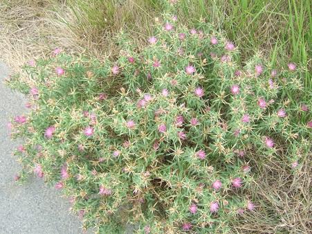 Centaurea calcitrapa - centaurée chausse-trape Dscf7140
