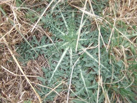 Centaurea calcitrapa - centaurée chausse-trape Dscf7141