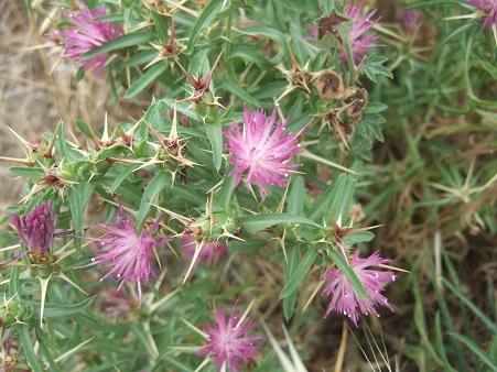 Centaurea calcitrapa - centaurée chausse-trape Dscf7142