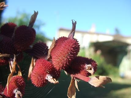 Canna musafolia Dscf7222