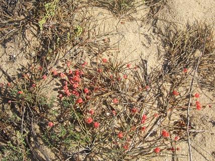 Ephedra distachya - raisin de mer Dscf7225