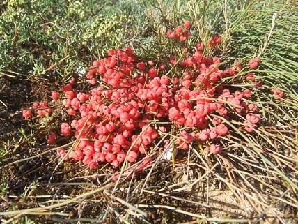 Ephedra distachya - raisin de mer Dscf7227